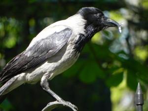 071 - Ворона з аномальним дзьобом