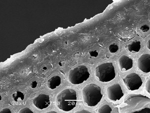 076-05 - Фрагмент поперечного перерізу кореневища хвоща польового Equisetum arvense L.
